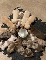 Chihuahua Puppies for sale in Dallas, GA, USA. price: NA