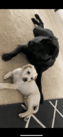 Chihuahua Puppies for sale in Council Bluffs, IA, USA. price: NA