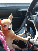 Chihuahua Puppies for sale in Kenneth City, FL 33709, USA. price: NA