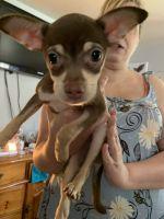 Chihuahua Puppies for sale in Scranton, PA, USA. price: NA