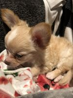 Chihuahua Puppies for sale in Pine Brook, Montville, NJ 07058, USA. price: NA