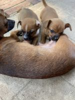 Chihuahua Puppies for sale in Gastonia, NC, USA. price: NA