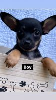 Chihuahua Puppies for sale in Conyers, GA, USA. price: NA