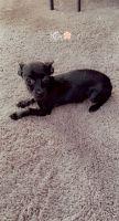 Chihuahua Puppies for sale in Bremerton, WA 98312, USA. price: NA