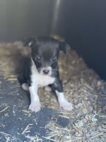 Chihuahua Puppies for sale in Bedford, IN 47421, USA. price: NA
