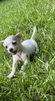 Chihuahua Puppies for sale in Snellville, GA, USA. price: NA
