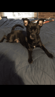 Chihuahua Puppies for sale in 8450 W Charleston Blvd, Las Vegas, NV 89117, USA. price: NA
