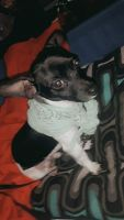 Chihuahua Puppies for sale in Youngstown, OH, USA. price: NA