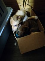 Chihuahua Puppies for sale in Dahlonega, GA 30533, USA. price: NA