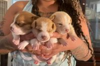 Chihuahua Puppies for sale in Moreno Valley, CA, USA. price: NA