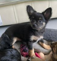 Chihuahua Puppies for sale in Borger, TX 79007, USA. price: NA