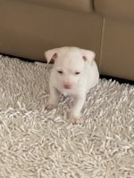 Chihuahua Puppies for sale in Newark, NJ, USA. price: NA