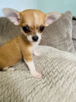 Chihuahua Puppies for sale in Baltimore, MD, USA. price: NA