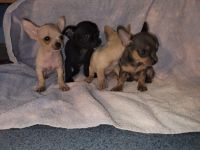 Chihuahua Puppies for sale in Springtown, TX 76082, USA. price: NA