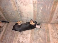 Chihuahua Puppies for sale in White Pine, TN, USA. price: NA