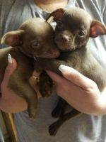 Chihuahua Puppies for sale in Victorville, CA 92392, USA. price: NA