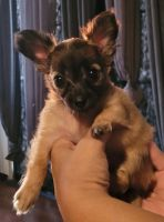 Chihuahua Puppies for sale in Fontana, CA, USA. price: NA