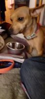 Chihuahua Puppies for sale in Roswell, NM, USA. price: NA