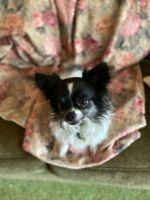 Chihuahua Puppies for sale in Snohomish, WA, USA. price: NA