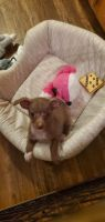 Chihuahua Puppies for sale in Benbrook, TX 76116, USA. price: NA