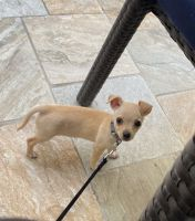 Chihuahua Puppies for sale in Houston, TX, USA. price: NA