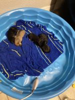 Chihuahua Puppies for sale in Tampa, FL 33613, USA. price: NA