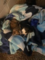 Chihuahua Puppies for sale in McCarran, NV 89434, USA. price: NA
