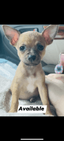 Chihuahua Puppies for sale in Orlando, FL, USA. price: NA