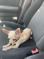 Chihuahua Puppies for sale in Kenner, LA, USA. price: NA