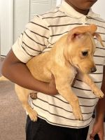 Chihuahua Puppies for sale in Spartanburg, SC, USA. price: NA