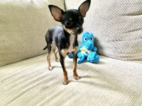 Chihuahua Puppies for sale in Parsippany-Troy Hills, NJ, USA. price: NA