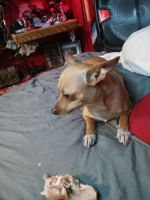 Chihuahua Puppies for sale in 8200 Madera Rd, Houston, TX 77078, USA. price: NA