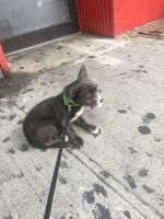 Chihuahua Puppies for sale in Bronx, NY 10454, USA. price: NA