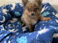Chihuahua Puppies for sale in Volcano, HI, USA. price: NA