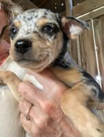 Chihuahua Puppies for sale in Geneva, IN 46740, USA. price: NA