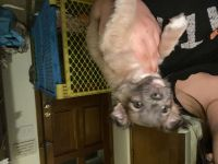 Chihuahua Puppies for sale in Cudahy, WI 53110, USA. price: NA