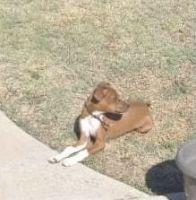 Chihuahua Puppies for sale in Chula Vista, CA, USA. price: NA