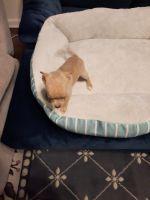 Chihuahua Puppies for sale in Valdosta, GA, USA. price: NA