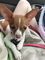 Chihuahua Puppies for sale in Reno, NV 89512, USA. price: NA