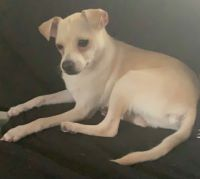 Chihuahua Puppies for sale in Tampa, FL, USA. price: NA