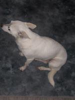 Chihuahua Puppies for sale in 1268 Brandl Dr SW, Marietta, GA 30008, USA. price: NA
