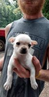 Chihuahua Puppies for sale in Athens, AL, USA. price: NA