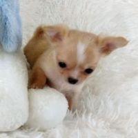 Chihuahua Puppies for sale in La Palma, CA, USA. price: NA