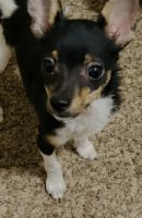 Chihuahua Puppies for sale in Hemet, CA, USA. price: NA