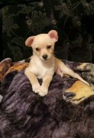 Chihuahua Puppies for sale in Florence, SC, USA. price: NA