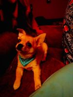 Chihuahua Puppies for sale in Easton, PA 18043, USA. price: NA