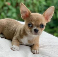 Chihuahua Puppies for sale in Ireland, IN 47546, USA. price: NA