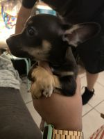 Chihuahua Puppies for sale in Orlando, FL 32822, USA. price: NA