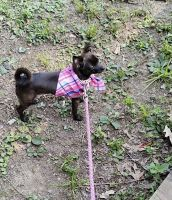 Chihuahua Puppies for sale in Little Rock, AR, USA. price: NA