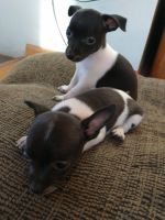 Chihuahua Puppies for sale in Finlayson, MN 55735, USA. price: NA
